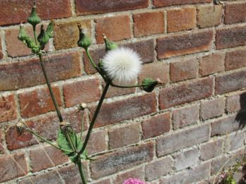 sow thistle seed head