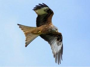 red kite northeastwildlife.co.uk