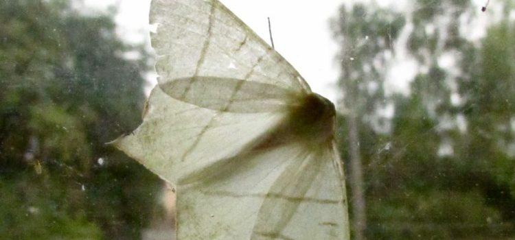 Swallowtail moth – Random act of wildness #StayWild
