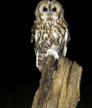 Tawny owl survey (UK) #staywild Volunteers wanted