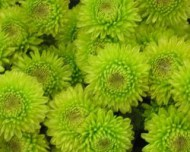 kermit green mums