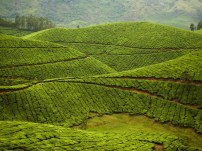 Kolukkumalai Tea Estate - Munnar, India