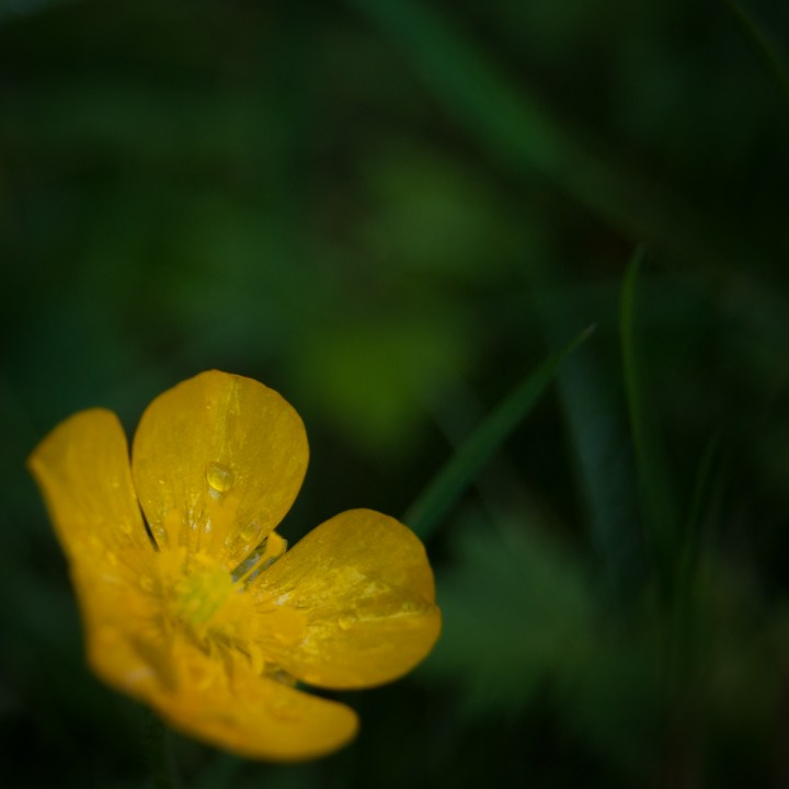 Beautiful Buttercup