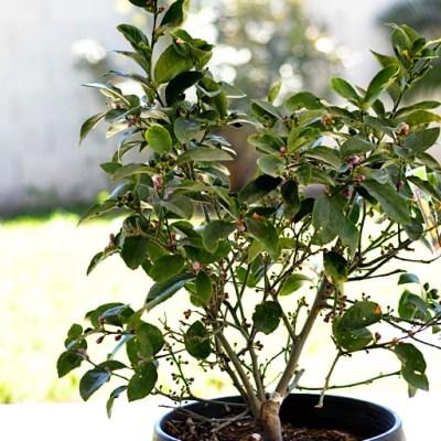 Li'l Lemon Tree