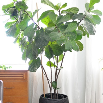 Houseplant Week: Fiddle-Leaf Fig