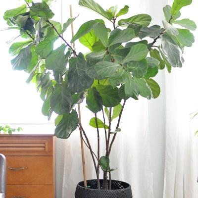 Houseplant Week: Fiddle-Leaf Fig