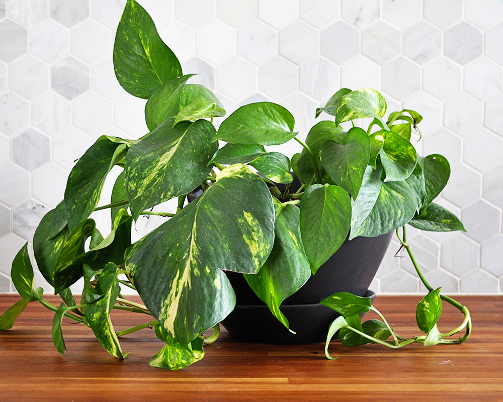 houseplant week pothos real life on purpose. Black Bedroom Furniture Sets. Home Design Ideas