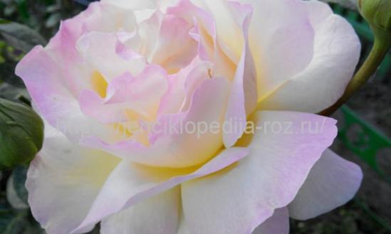 Редкие сорта роз