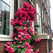Плетущиеся розы