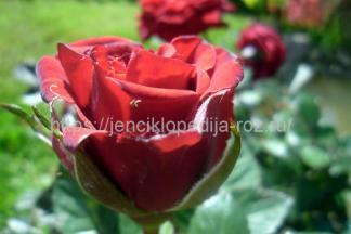 Чайно гибридная роза
