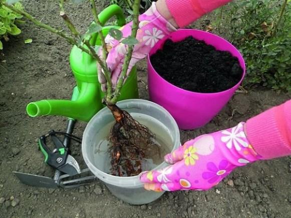 Розы с оголенной корневой системой