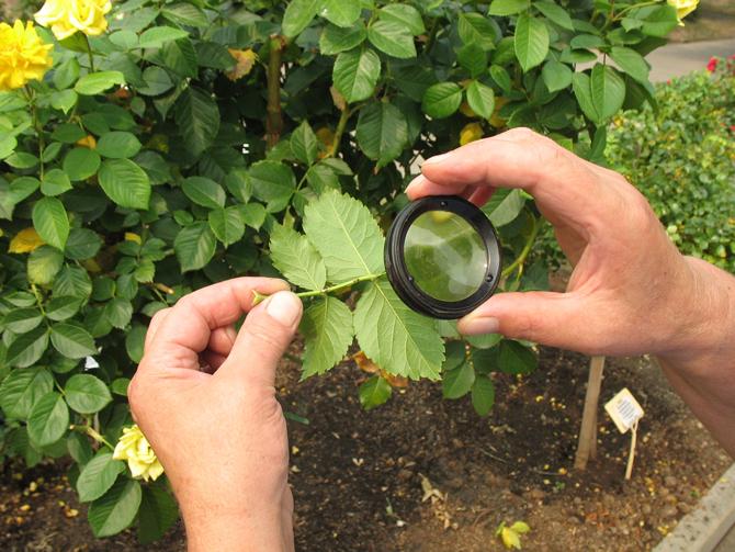 Защита роз от вредителей и болезней