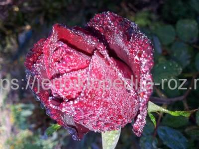 Зимовка роз