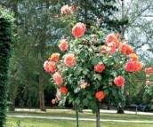 Деревья розы