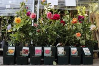 Корневая система роз в контейнере
