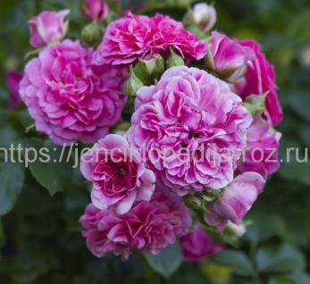 Кустарниковые розы