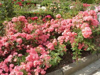 pochvopokrovnyie rozyi - История сортовых роз