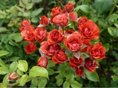 Sprey rozyi - История сортовых роз