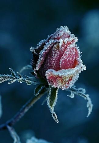 Топ-7 морозостойких сортов роз