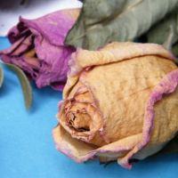 Почему у розы не раскрываются бутоны: засыхают и вянут