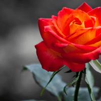 Изменение цвета розы - почему цветы меняют цвет в саду