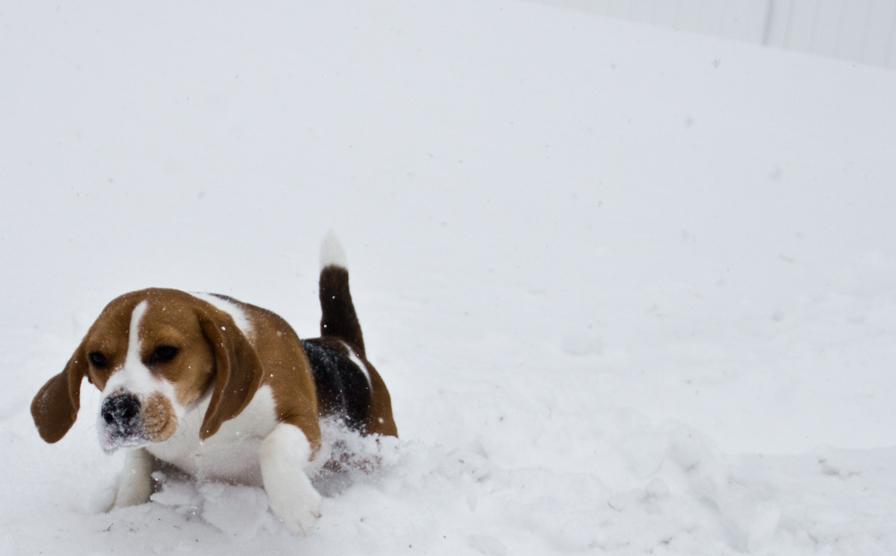 beagle-running-through-snow