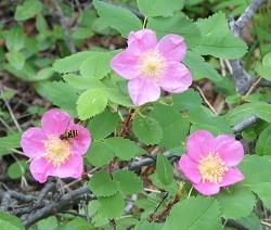 roses-250w.JPG