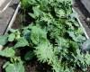 Kale, collards, mustard greens, cabbage, cauliflower, and more.