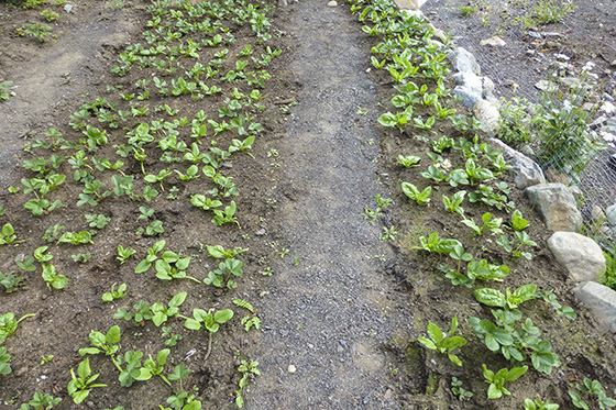 Spinach and strawberry plants.