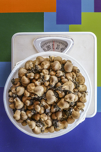 Puffballs being weighed.
