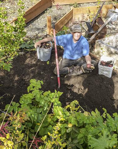Digging potatoes.