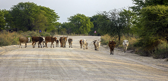 Lots of cows on the road