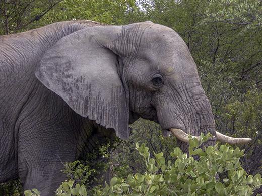 Elephant clos-up
