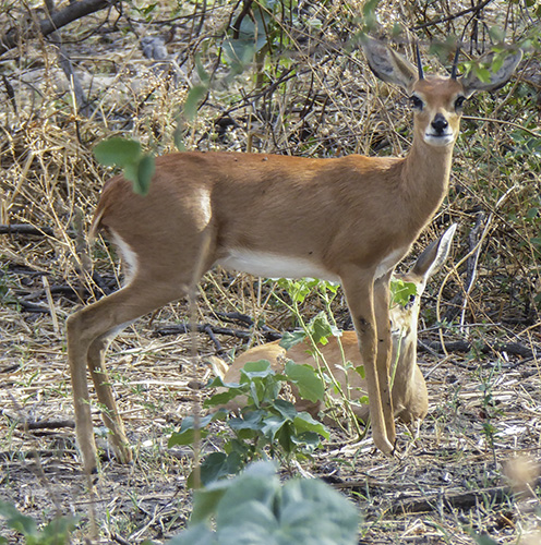 Two steenbok, one standing, one lying down