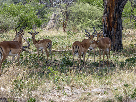 Several impalas hanging out in the shade