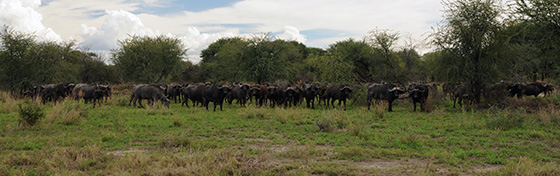 A whole bunch of water buffalo.