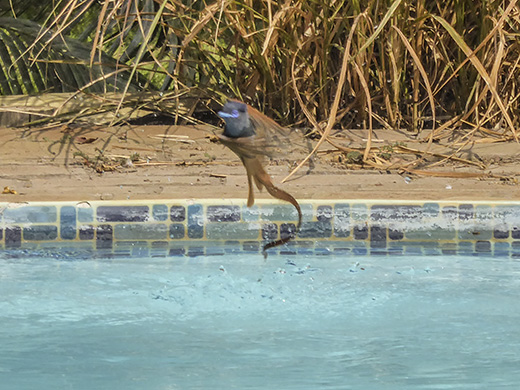 Paradise flycatcher exiting a swimming pool.
