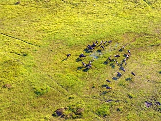 A herd of wildebeest in the Okavango Delta.