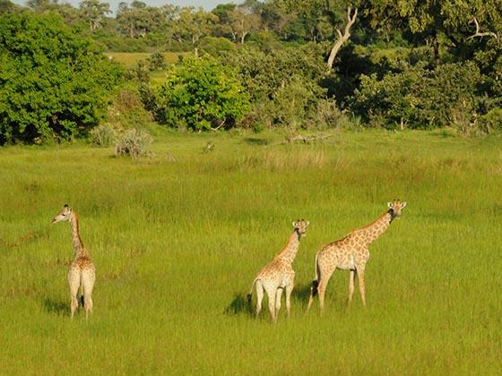 Three giraffes in the Okavango Delta, Botswana.