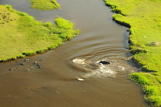 One hippo racing into the water to join several others.