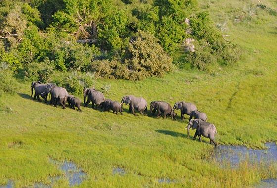 Elephants walking in single file through the Okavango Delta.