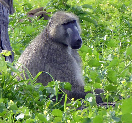 Baboon sitting in green grass and brush, looking pretty.
