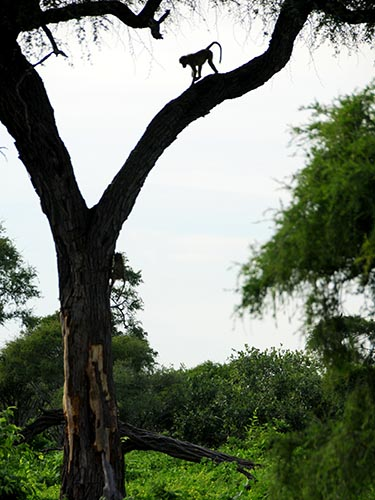 Baby baboon silhouetted in a tree.