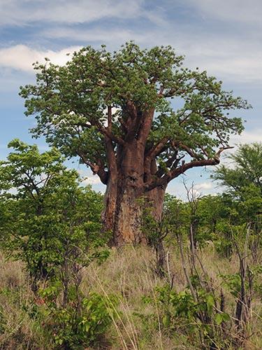 Big baobab tree.