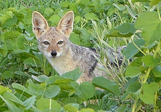 Black-backed jackal in brush