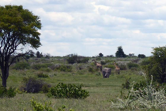 An elephant and two giraffes, hanging near one another in the park.