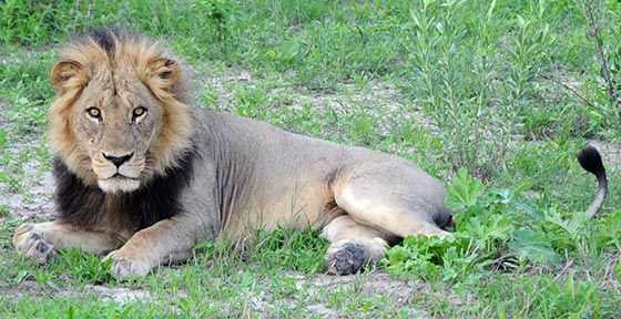 A lion resting in the grass outside Moremi Game Reserve.