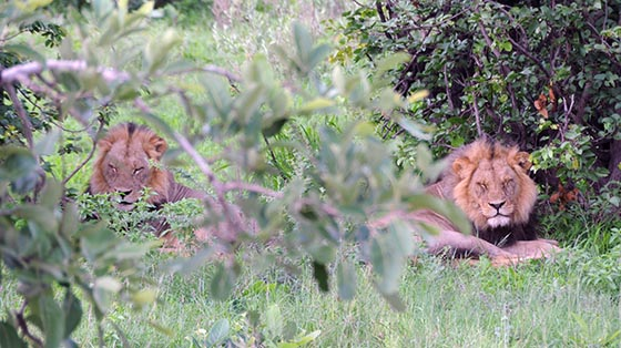 Two male lions resting together in the shade.