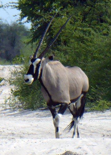 Gemsbok or oryx standing on a sandy road.