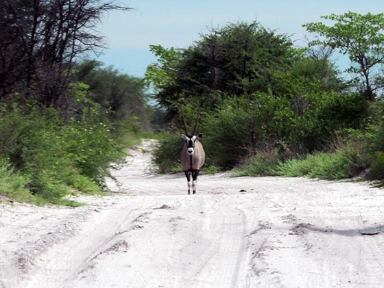 Gemsbok in the middle of a sandy road.